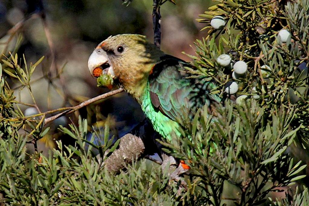 Rodnick Clifton Biljon - Cape Parrot Project