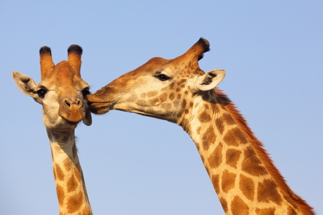 Kissing giraffe by Shutterstock