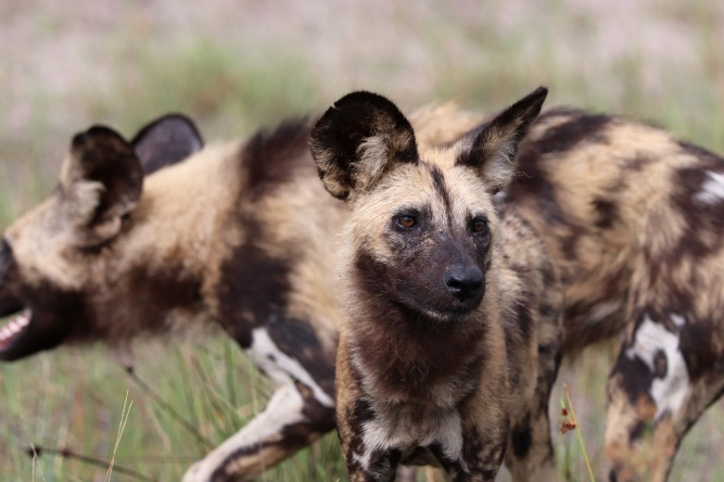 Painted wolves by Chris du Preez