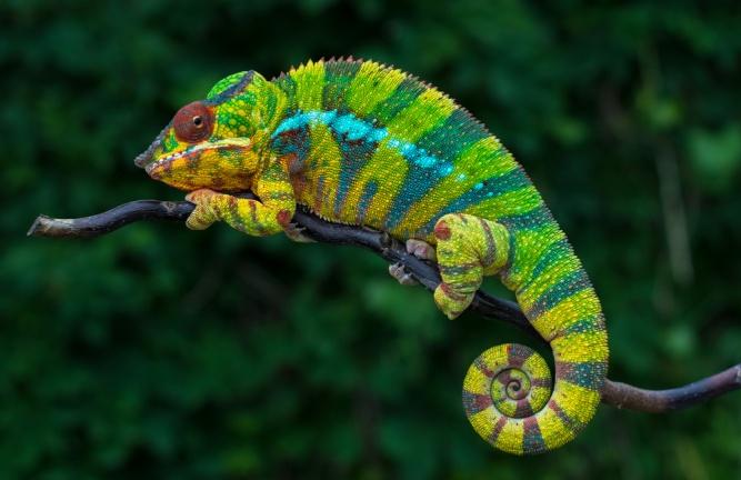 Chameleon in Madagascar by Shutterstock