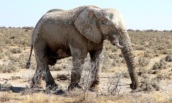 Bull elephant by Landia Davies