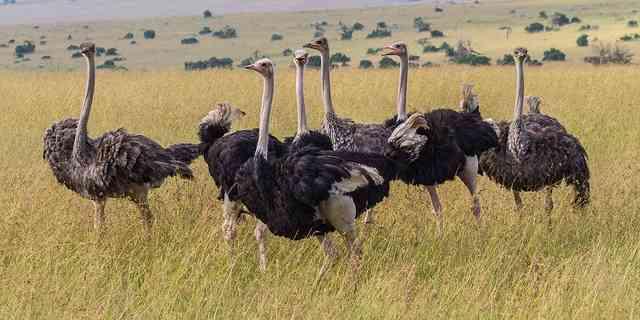 Ostrich Flock by