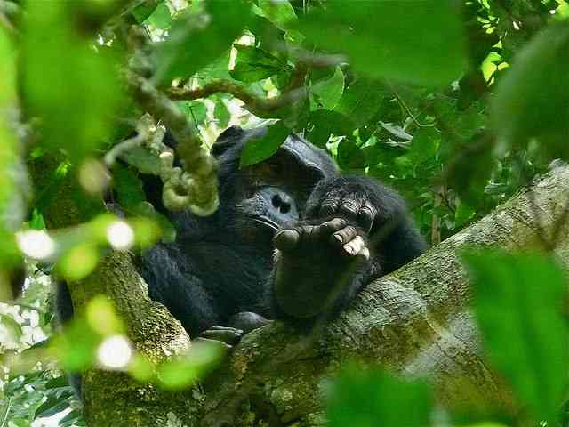 Chimpanzee by Bernard DUPONT