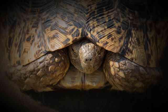 Leopard Tortoise, Hello! by Steve Slater