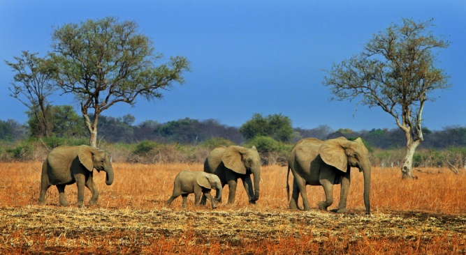 Elephants in Luangwa by Shutterstock