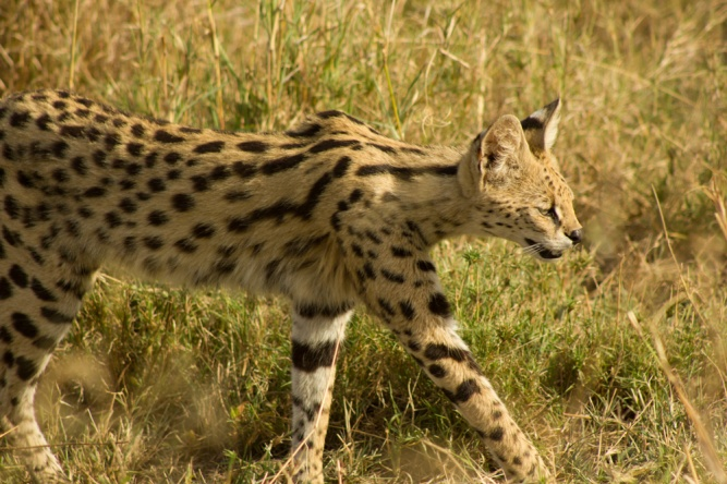 Serval cat serengeti np by
