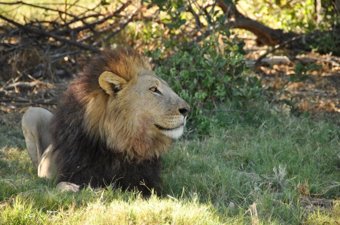 Moremi lion profile by Ingrid Van Wyk