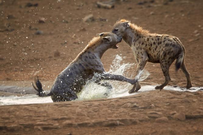 Hyena squabbling by Shutterstock