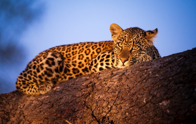 Young leopard at sunset by Shutterstock
