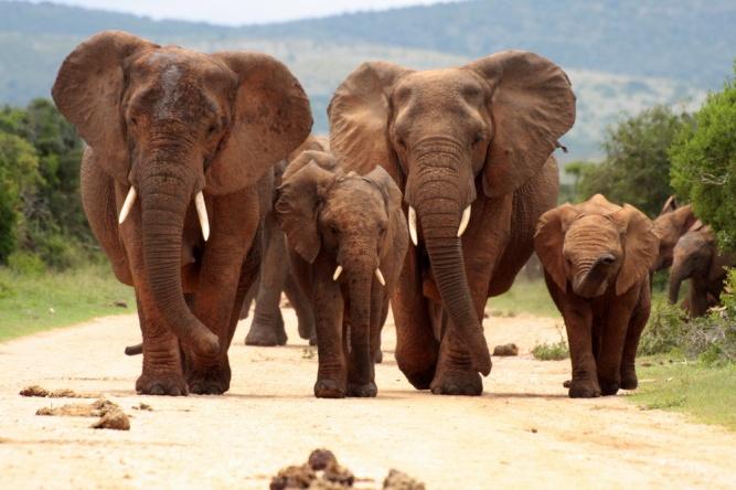 African elephants by Shutterstock