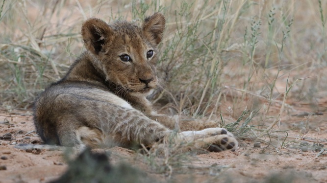 African lion, Panthera leo at Kgalagadi Transfrontier Park, Northern Cape, South Africa by Derek Keats